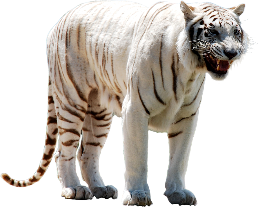 white tigner transparent png images free download tiger clipart images black and white tiger clipart free black and white for adults