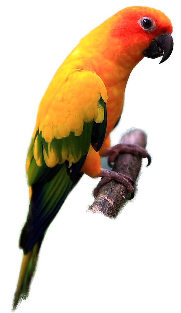 Indian Parrot Png Images Free Download