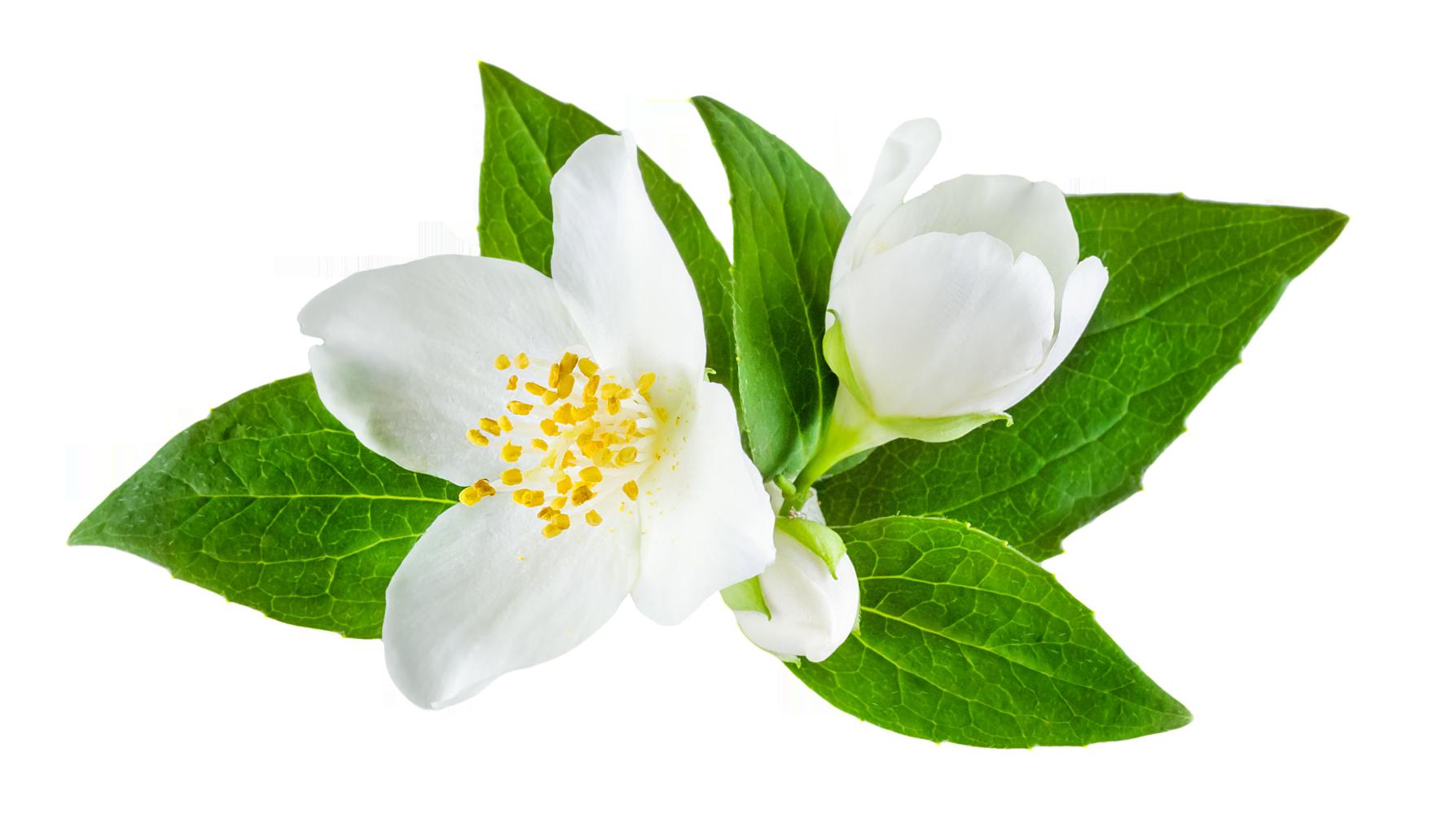 Jasmine Flower Png Images Free Download