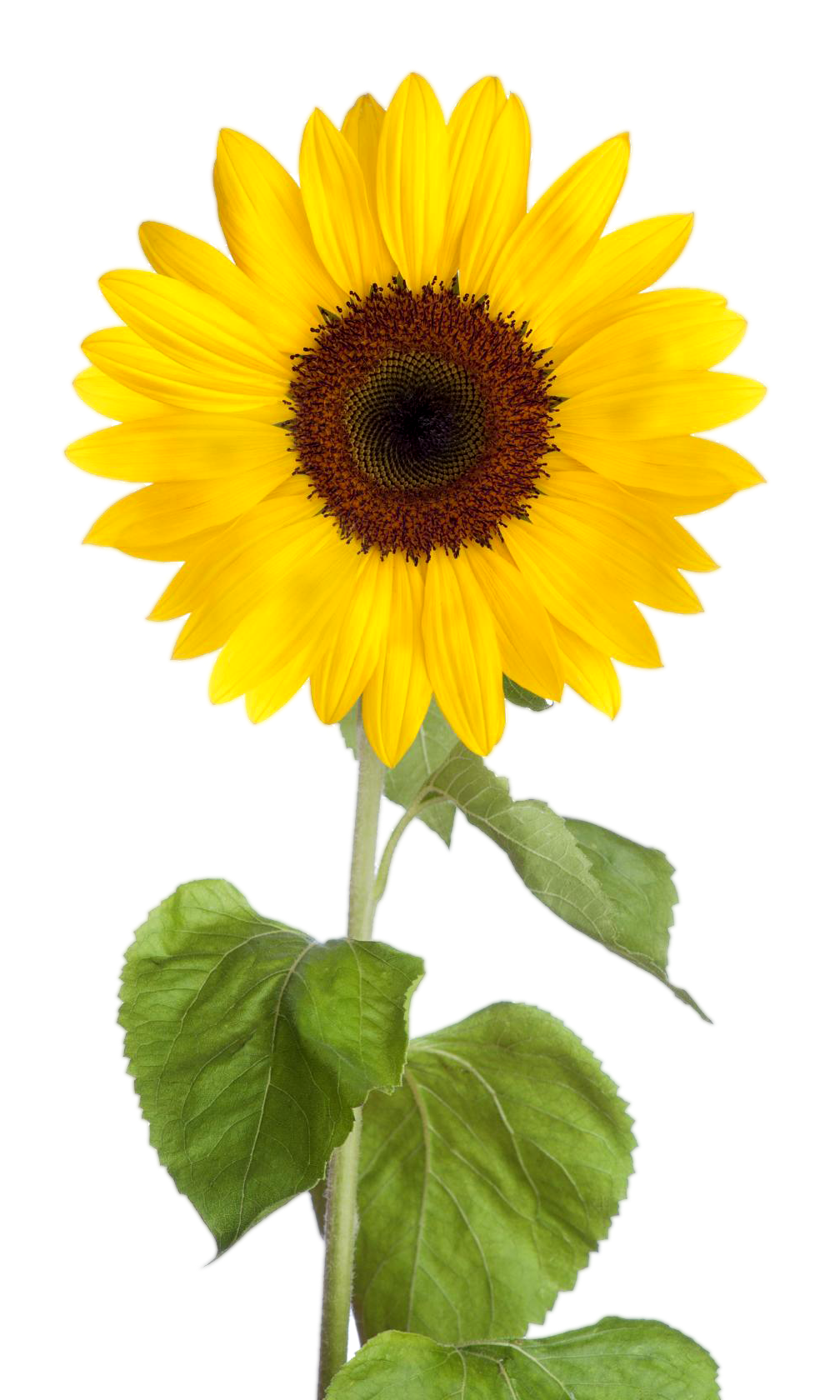 Sunflower Clipart png images with transparent background
