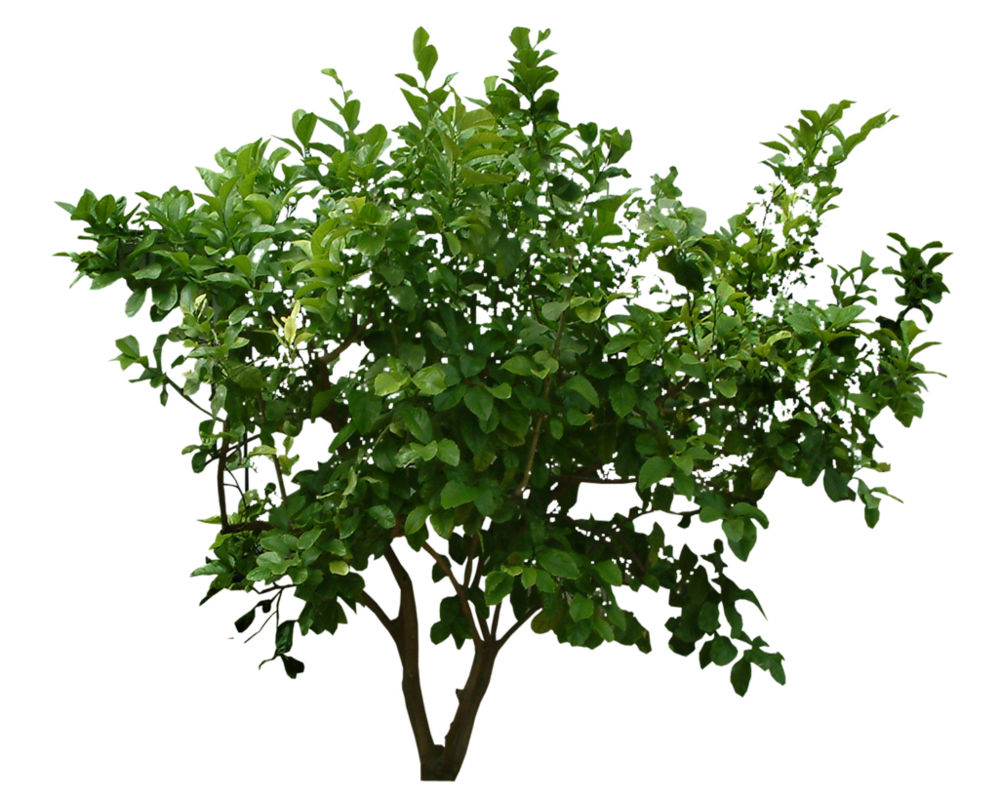 Small Tree PNG image with green leaf